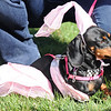 Halloween Doggie Parade for Livermore Goddess Network :